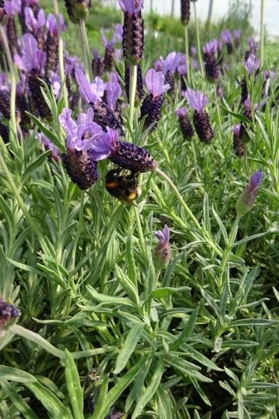 Lavendel Schopflavendel /Lavendula stoechas /
