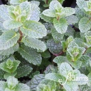 Minze Hugo / Mentha (x) spicata