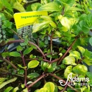 Minze Ingwerminze / Mentha (x) gracilis
