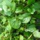 Minze Mandarinenminze / Mentha x piperita