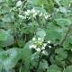 Wasabi grün 1